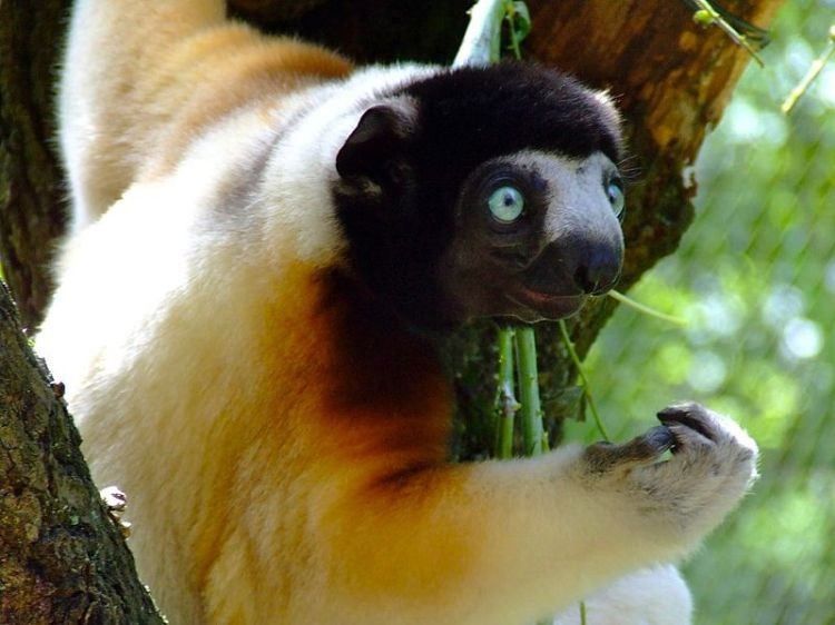800px-Crowned_sifaka