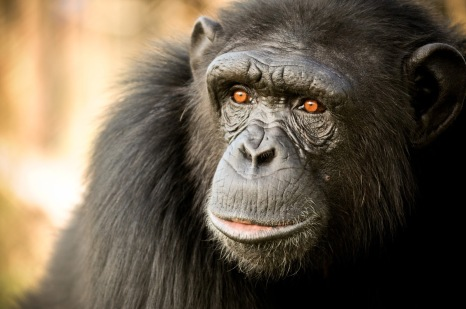 chimpMona