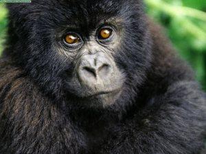 gorilla-thrilla