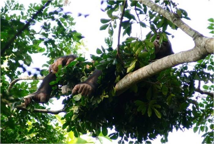 Chimpancé  descansando en su nido por Kathelijne Koops