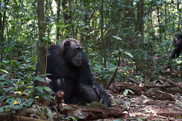 Chimpancé en la selva por Wildcastsff CC Some rights reserved