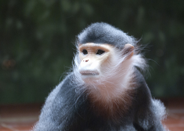 Douc Langur by Katy Silberger CC Some rights reserved