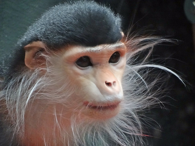 Douc Langur by Marian Henderson CC Some rights reserved
