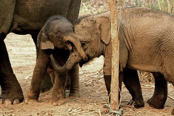Elefantes asiáticos by Wikimedia Commons CC