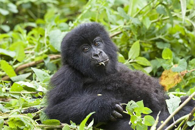 Gorila de montaña por Hjalmar Gislason CC Some rights reserved