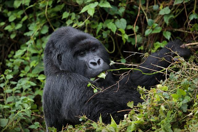 Gorila de montaña por Ludovic Hirlimann CC Some rights reserved