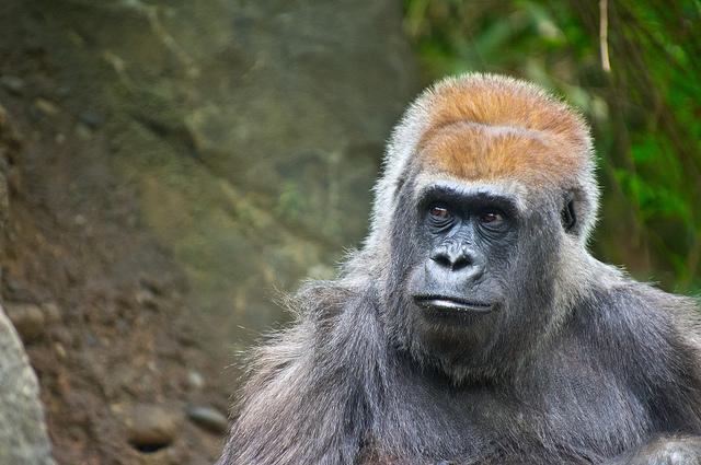 Gorila occidental por Dwayne Bent CC Some rights reserved