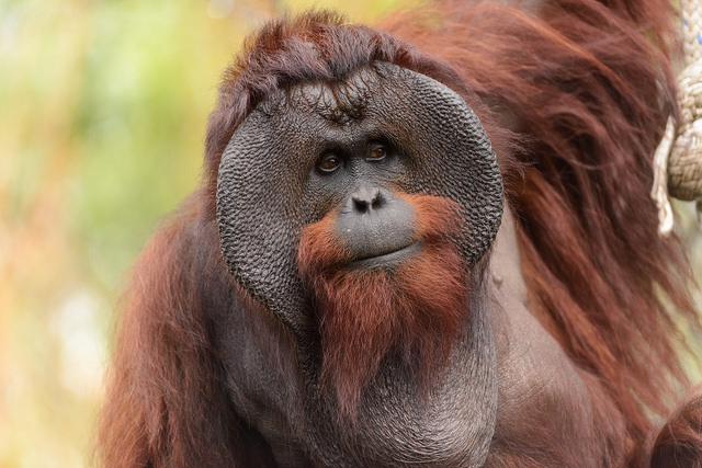 Orangutan de Borneo por Eric Kilby CC Some rights reserved