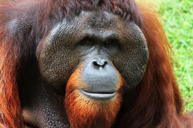orangutan-250664_640