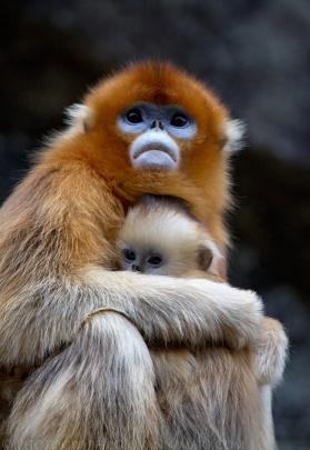 Golden_Snub-nosed_Monkeys,_Qinling_Mountains_-_China