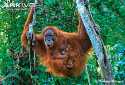 sumatran-orangutan-with-infant