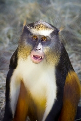 Wolf's_mona_monkey_at_San_Antonio_Zoo_(October_26,_2011)