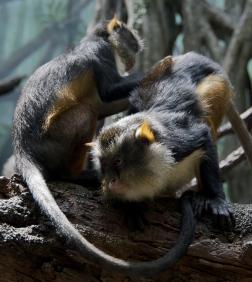 Wolfs_Mona_Monkey_Cercopithecus_wolfi_Bronx_Zoo_4_cropped