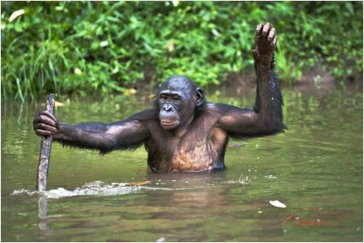 Foto 3: Bonobo utilizando un bastón para caminar sobre un río de poca profundidad