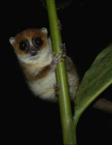 Brown_Mouse_Lemur,_Nosy_Mangabe,_Madagascar_2