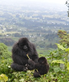03 Gorilas y presión humana