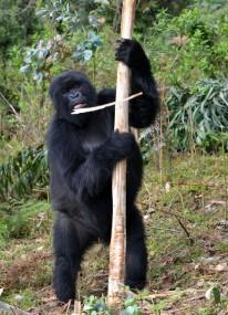 05 gorila fuera parque consumiendo eucaliptus