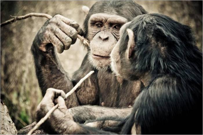 Dos de los chimpancés rescatados por la Fundació Mona alimentándose de uno de los termiteros artificiales de la instalación (Crédito: Miquel Llorente)