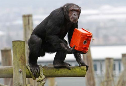 chimp_film_edinbrough_zoo