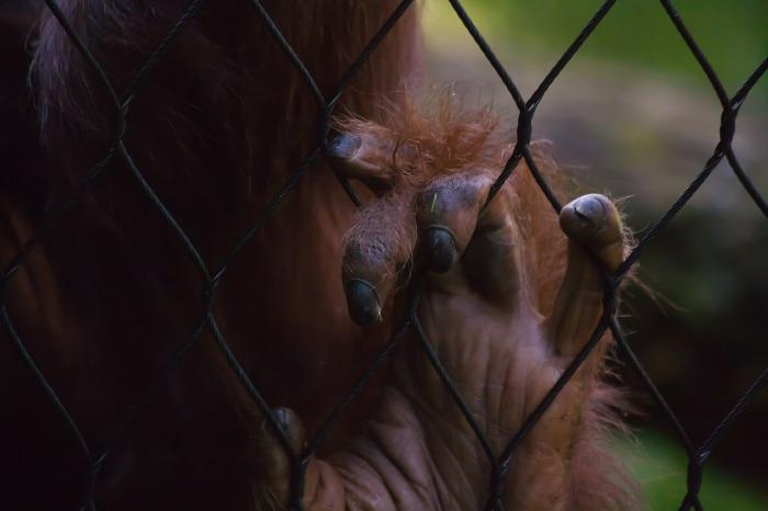 gorilla-447869_1280
