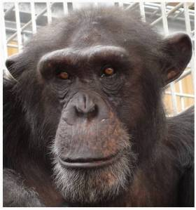 Seve ©Save The Chimps