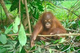 nido de orangutan