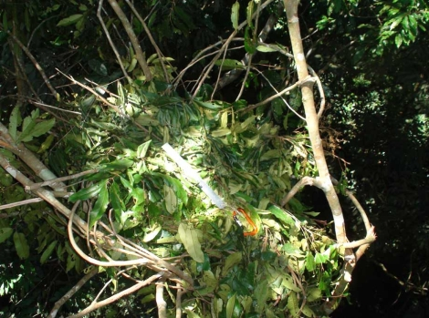 nido orangutan3
