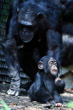 Chimpanzee_mom_and_baby_cropped