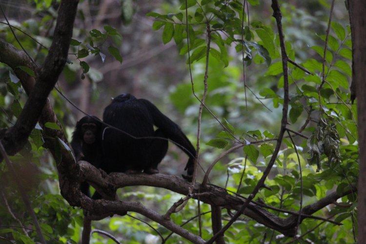Chimpancés en Dindefelo (Fuente IJG Europe)