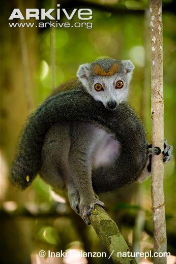 Crowned-lemur-female.jpg Foto 1
