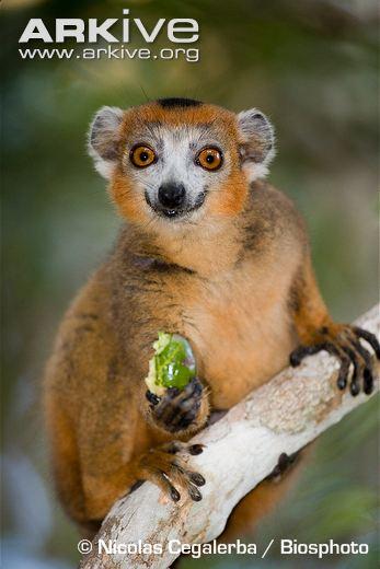 Crowned-lemur-male-eating-fruit.jpg Foto 2