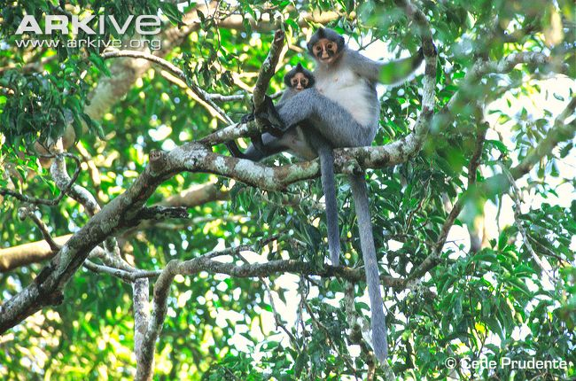 Hoses-langur-adult-and-infant