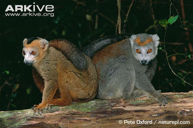 Male-and-female-crowned-lemurs-showing-dimorphism.jpg Foto 3