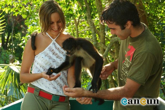 """Figura3. Comúnmente una de las atracciones en diferentes parques """"ecológicos"""" de la Riviera Maya consiste en tomarse la foto con una especie silvestre que en ocasiones está en peligro de extinción, como en este caso el mono araña (Ateles geoffroy)"""