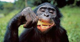 Detalle de la dentición de un bonobo