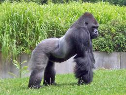 Detalle tamaño craneal de un Gorila