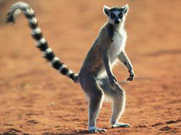 Detalle de la posición plantígrada en Lemur catta