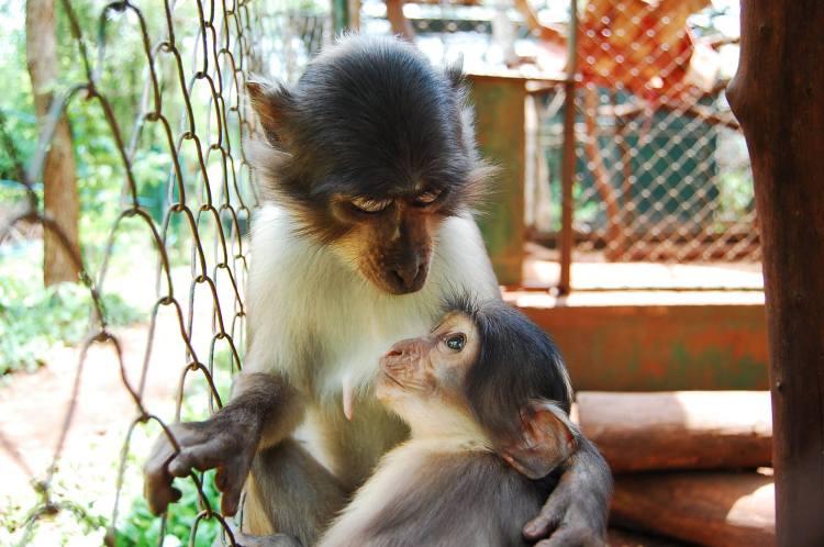 En la foto podéis ver a Sonja amamantando a Togbi. Sonja es una de las mangabeys procedentes de la naturaleza que está siendo rehabilitada.