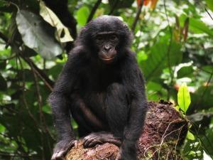 bonobo-k-koops
