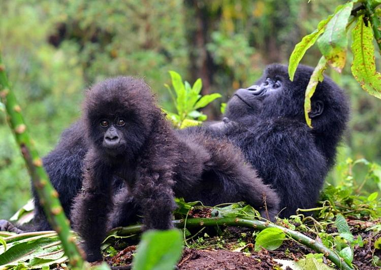infant-mountain-gorillas-photocredit-jordi-galbany