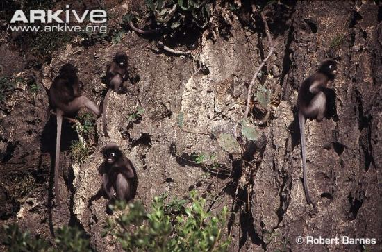 group-of-dusky-leaf-monkeys-subspecies-flavicauda-sitting-on-rocks