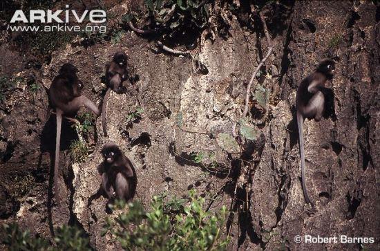 group-of-dusky-leaf-monkeys-subspecies-flavicauda-sitting-on-rocks