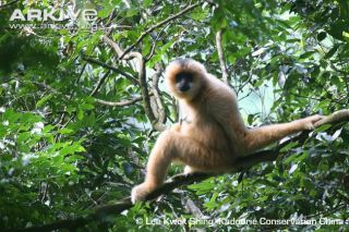 hainan-gibbon-female
