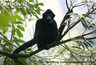 hainan-gibbon-male