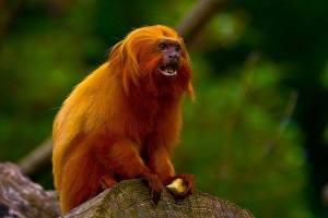 titi-leon-dorado