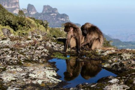 Gelada Baboons Grooming on Cliff Edge