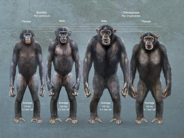 bonobo-vs-chimpance