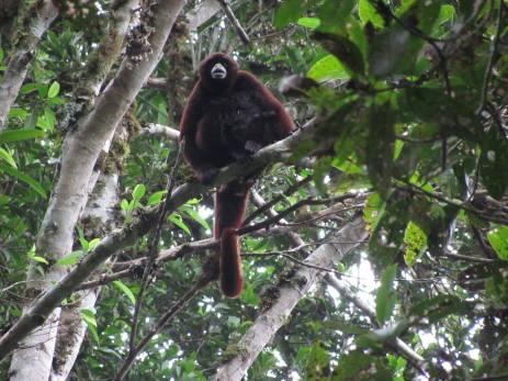 Primate en libertad