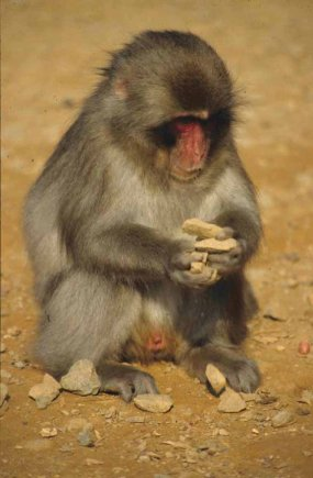 FIGURE-Japanese-macaque-engaged-in-stone-handling-specific-behavioral-pattern-is_W640