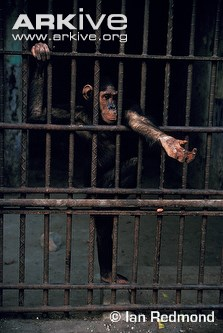 Captive-central-chimpanzee-begging-for-food-